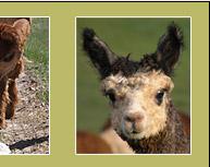westwood alpacas de